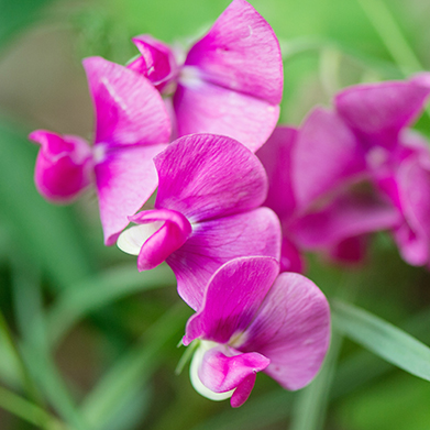 My Grandmom's Sweetpeas